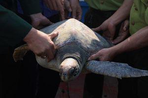 Cá thể rùa quý hiếm nặng 25kg mắc vào lưới ngư dân