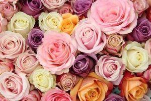 Thông điệp thú vị đằng sau mỗi màu sắc của hoa hồng