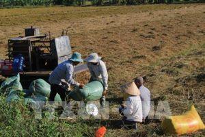 Đẩy mạnh cho vay thúc đẩy sản xuất, tiêu thụ lúa gạo Đồng bằng sông Cửu Long