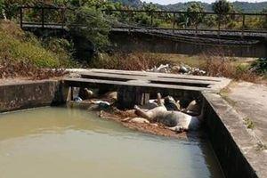Khánh Hòa: Heo chết không rõ nguồn gốc thả trôi trên một số hồ, kênh