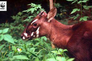 Phát hiện cá thể động vật nghi Sao La ở Vườn Quốc gia Phong Nha – Kẻ Bàng