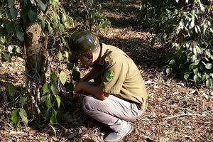 Bình Phước: Người tố cáo phá rừng bị chặt cao su và tiêu để trả thù?