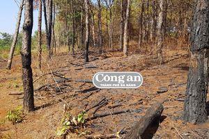'Xà xẻo' rừng thông hàng chục năm tuổi