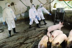 Sự kiện 24/7: Dịch tả lợn châu Phi xuất hiện tại hơn 10 tỉnh, thành
