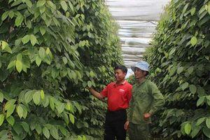 Gia Lai: Sản xuất hồ tiêu theo hướng hữu cơ bền vững