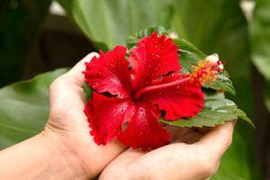Nước Đông Nam Á nào chọn dâm bụt đỏ làm quốc hoa?