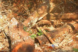Báo động 'lâm tặc' tàn phá rừng gỗ mun trong Vườn di sản Phong Nha
