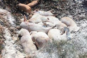 Vì sao phải tiêu hủy hết lợn bị nhiễm virus dịch tả châu Phi?