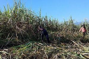 Khánh Hòa: Thêm một vụ mía nhiều trăn trở