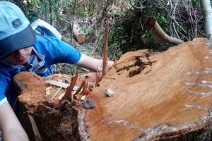 Kỷ luật nhiều cán bộ để lâm tặc phá rừng phòng hộ đầu nguồn
