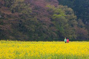 Chiến dịch quảng bá du lịch mùa xuân Hàn Quốc