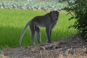 Khỉ hoang lại cắn người ở Sóc Trăng