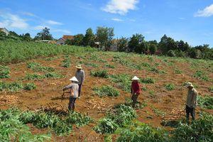 Phú Yên khuyến cáo nông dân không chuyển trồng keo sang trồng sắn