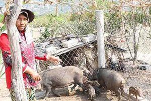 Lợn lai rừng ở Ninh Thuận chết không rõ nguyên nhân