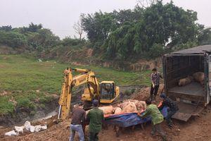 Căng sức chôn lấp, tiêu hủy lợn nhiễm dịch tả lợn châu Phi