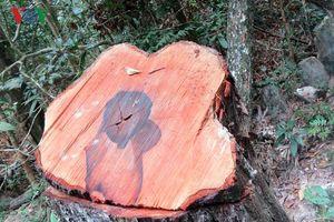 Điều tra vụ phá rừng gỗ mun ở Vườn Quốc gia Phong Nha- Kẻ Bàng