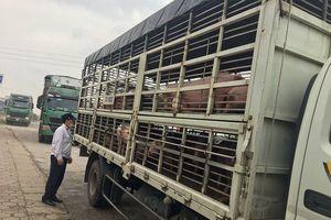 Đề xuất công bố dịch tả lợn Châu Phi tại Nghệ An