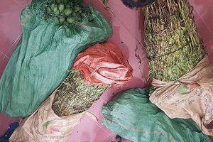Lào Cai: 4 thanh niên cùng nhau trồng 1 nương cây thuốc phiện để bán