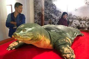 Tiêu bản cụ rùa hồ Gươm được trưng bày tại đền Ngọc Sơn