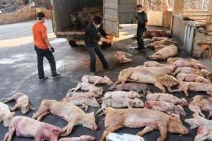 17 tỉnh, thành phố xuất hiện dịch tả lợn châu Phi