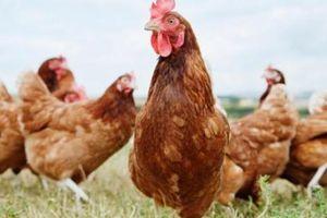 Cáo vào chuồng 3.000 con gà, tưởng được ăn no, không ngờ lãnh kết cục thảm