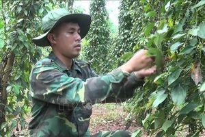 Chiến sĩ biên phòng 'tiếp sức' nông dân thu hoạch hồ tiêu