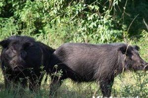 Lợn rừng lai được nuôi tại Ninh Thuận bị chết chỉ là do nhiễm khuẩn đường ruột