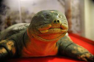 Cận cảnh tiêu bản cụ rùa Hồ Gươm chết cách đây 3 năm