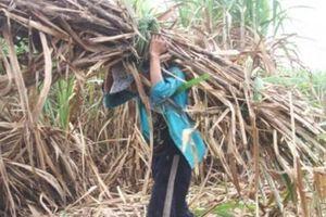 Long An: Nông dân mỏi mắt chờ nhà máy đường 'giải cứu' mía