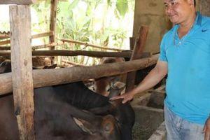 Trồng cỏ nuôi con uống nước lã, mỗi năm kiếm đôi trăm triệu đồng