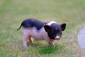 Bộ NN-PTNT đề nghị kiểm soát chặt việc buôn bán lợn cảnh mini
