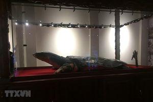 Tiêu bản Cụ rùa Hồ Gươm được đưa về đền Ngọc Sơn