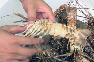 Phú Yên: Tôm hùm chết ở đảo Lao Mái Nhà chưa có dấu hiệu dừng lại