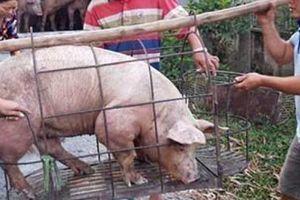 Thấp thỏm dịch tả lợn châu Phi: Dân miền Nam bán lợn 'chạy dịch'