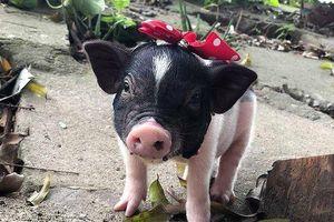 Đề nghị giám sát lợn cảnh mini nhập lậu, ngăn dịch tả lợn châu Phi
