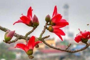 Thổn thức hoa gạo tháng ba
