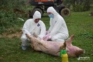 Mẫu xét nghiệm lợn chết ở Quỳnh Hoa (Quỳnh Lưu) âm tính dịch tả lợn châu Phi