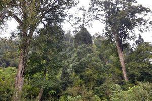 Cách giữ rừng đặc biệt ở Phiêng Luông
