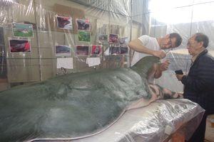 Tiêu bản thứ 2 rùa Hồ Gươm được du khách khen ngợi 'thật như đang sống'