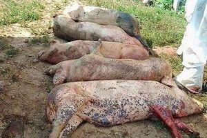 Vì sao chỉ 1 tháng dịch tả lợn Châu Phi đã lan nhanh 19 tỉnh thành?