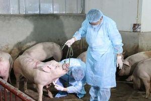 FAO khuyến nghị Việt Nam công bố dịch tả lợn châu Phi ở tình trạng khẩn cấp quốc gia