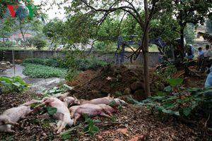 Lai Châu xuất hiện ổ dịch tả lợn Châu Phi đầu tiên