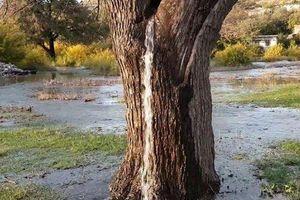 Kỳ lạ vòi nước phun ra từ thân cây