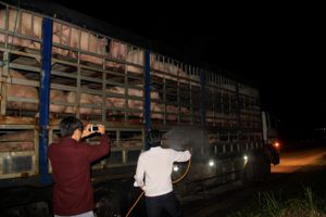 Khuyến nghị VN công bố dịch tả lợn châu Phi là tình trạng khẩn cấp quốc gia