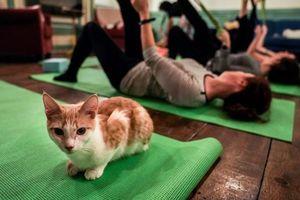 Khám phá lớp học Yoga mèo đầy thú vị ở Mỹ