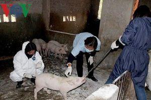 Nghệ An cấm giết mổ hoàn toàn tại 2 địa phương có dịch tả lợn châu Phi