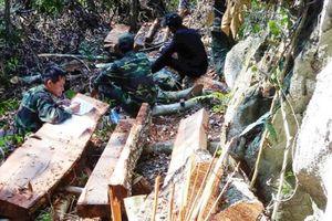 Hơn 100m3 gỗ bị khai thác trái phép tại Phong Nha
