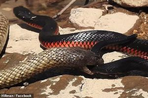 'Trận chiến sinh tử' giữa rắn nâu và rắn đen bụng đỏ