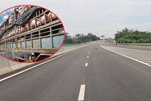 Cấm xe vận chuyển lợn chạy trên cao tốc Đà Nẵng – Quảng Ngãi