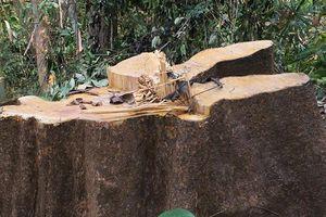 Rừng phòng hộ Sông Tranh bị tàn phá nghiêm trọng